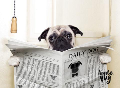Você observa o cocô do seu Pug?