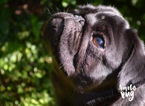 Espirro Reverso em Pugs
