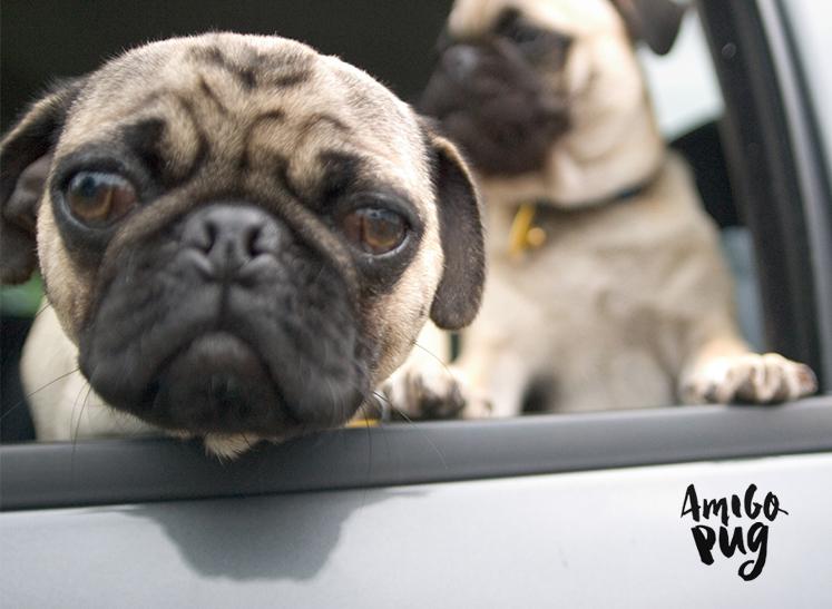 Pug no carro?