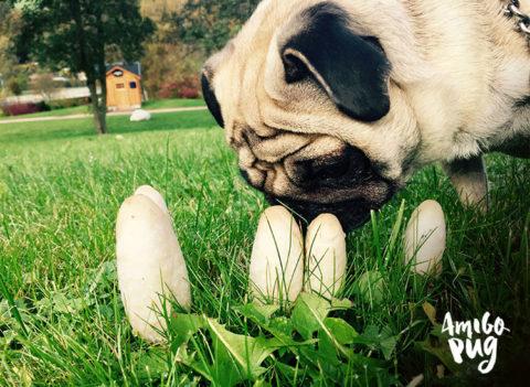 5 plantas que podem intoxicar seu Pug