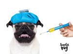 Vacina Pug