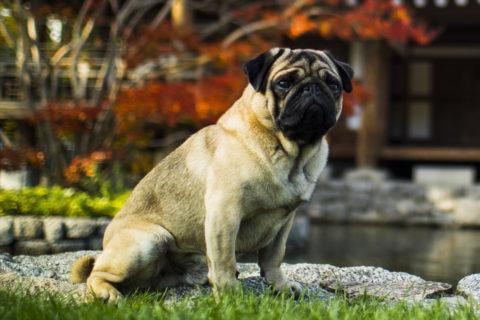 Cachorros da raça Pug